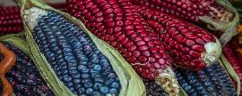 El maíz protagonista en las fiestas patrias